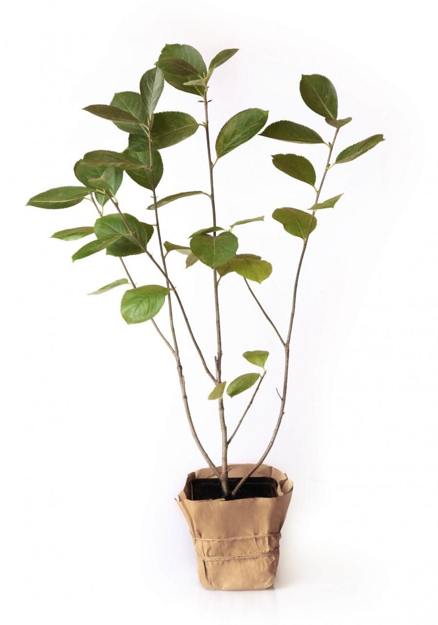 Mehrjährige Aronia Pflanzen - Große und saftige Früchte