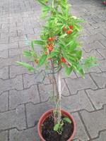 """Bio-Goji-Pflanze """"Turgidus"""" (lycium barbarum)"""